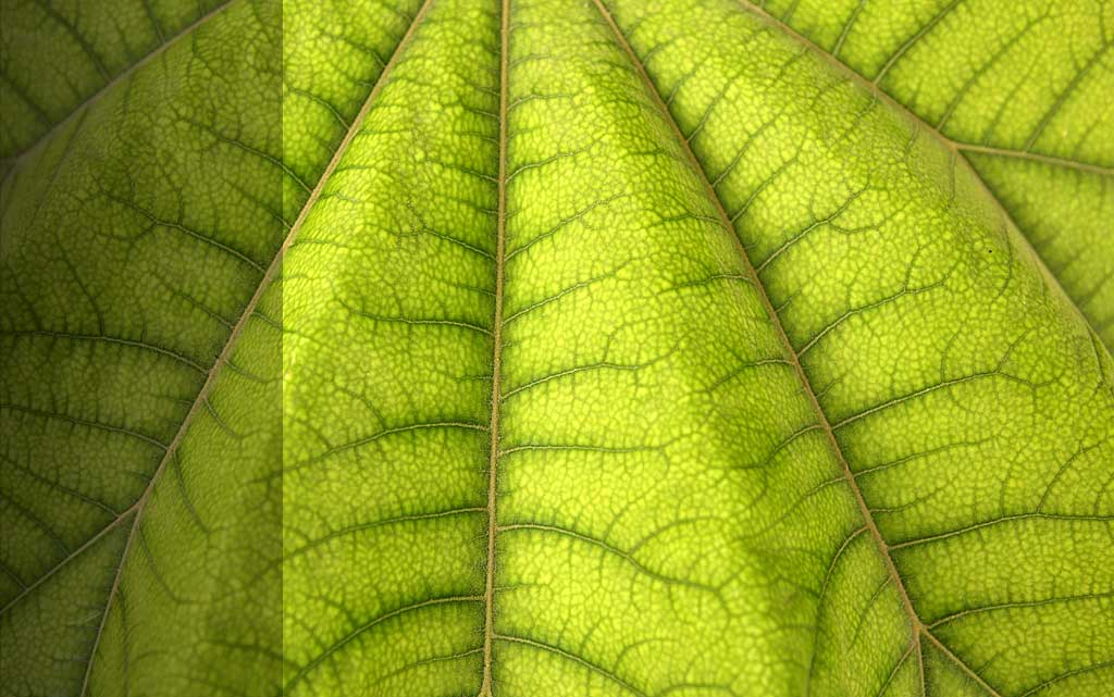 light green leaf